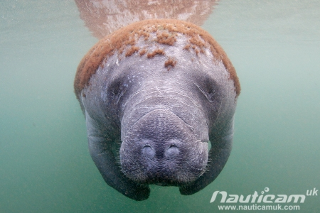 Slightly balding, slightly ginger manatee