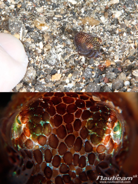 Bobtail Squid with and without Nauticam SMC and multiplier. Canon 70D, 100mm macro
