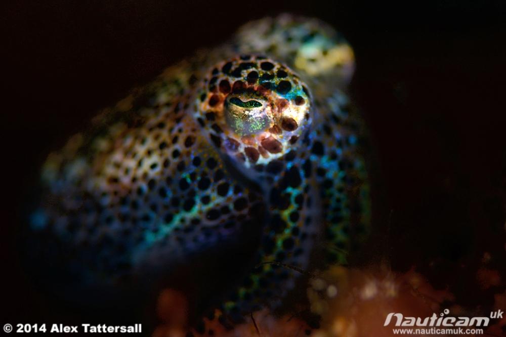 Bobtailsquid