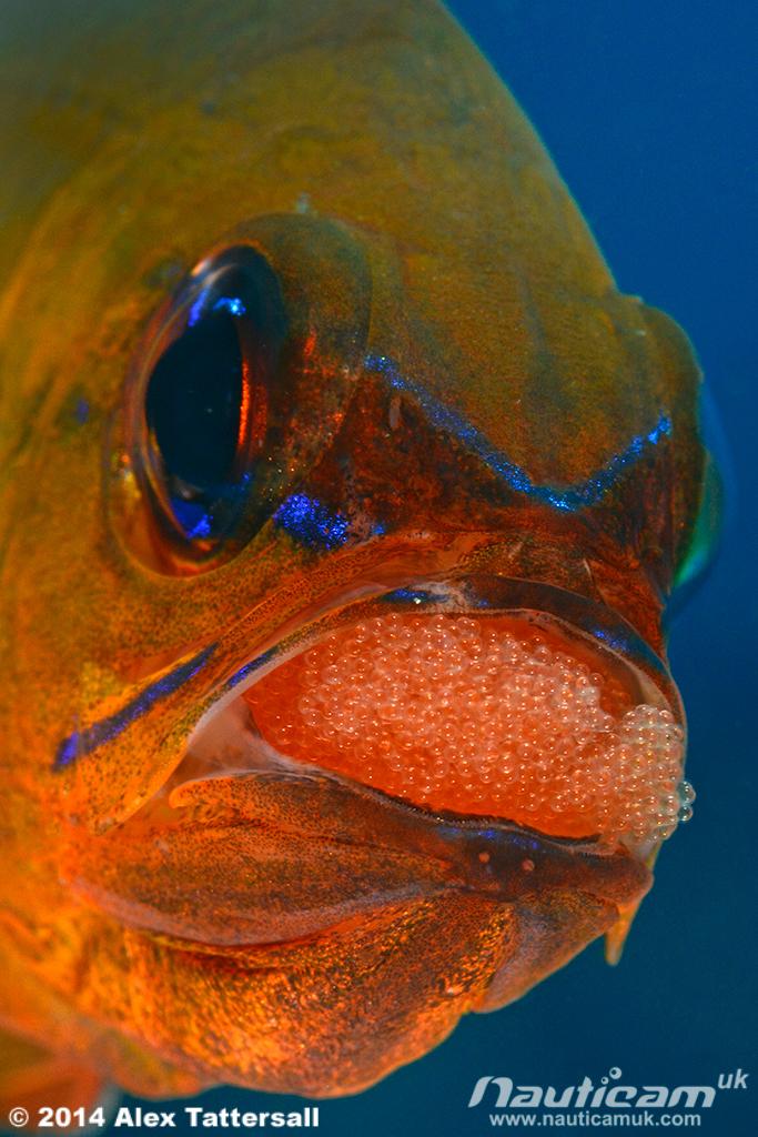 cardinalfisheggs2