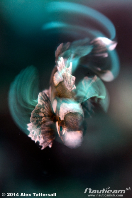 harlequinsweetlips