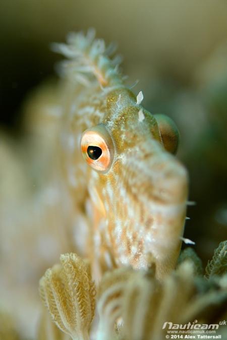 Radialfilefish2